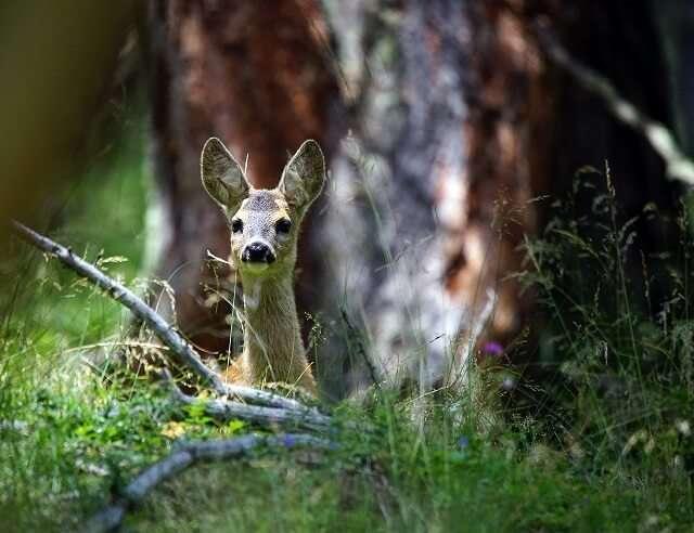 第一印象(見つめる野生の鹿)