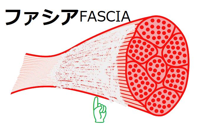 ファシアFASCIA