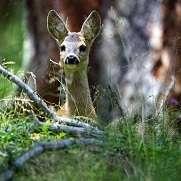第一印象(森の中の小鹿)