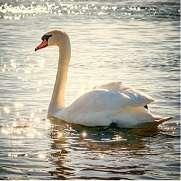 湖上の白鳥